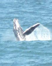 Whales off Kiama 03